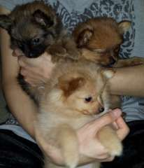 Pomeranian Puppies Puppies For Sale Ormeau Queensland Pomeranian Dogs For Sale In Australia Htt Pomeranian Puppy Pomeranian Puppy For Sale Pomeranian Dog