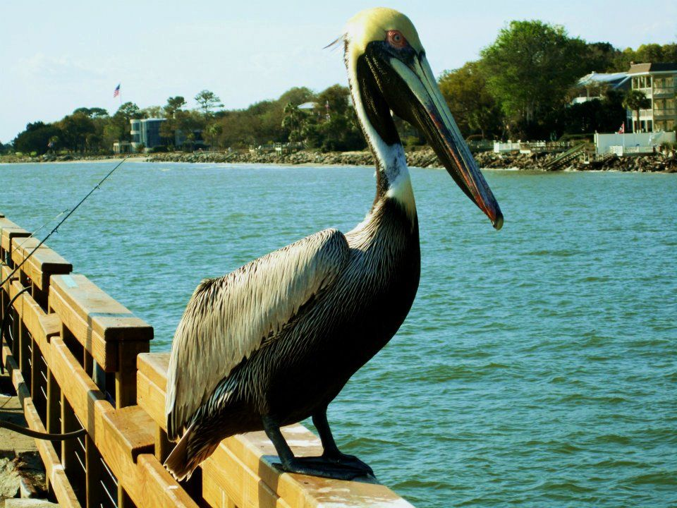 Pete The Pelican On The Pier At St Simon S Island Georgia St Simons Island Island Favorite Places