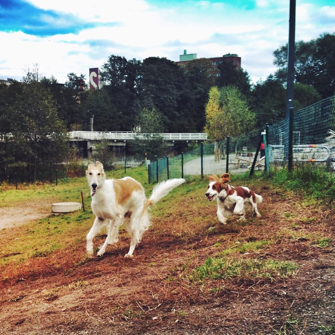 ❤ =^..^= ❤   ingentinget:  Oh! Those two sweetie pies..   #koira #borzoi #sighthound #smilla #welshspringerspaniel #weeklyfluff #bestwoof #dogs (på/i Hammarbybacken)