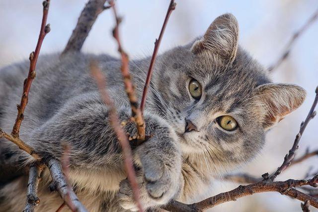 Algunos gatos han sobrevivido caidas de mas de 65 pies. Sus ojos y organos de equilibrio en ....