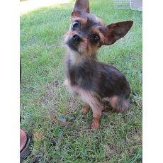 Zoey Romp Italian Greyhound Rescue Chicago Illinois Pets Overstock Com Italian Greyhound Rescue Animal Sanctuary Animal Society