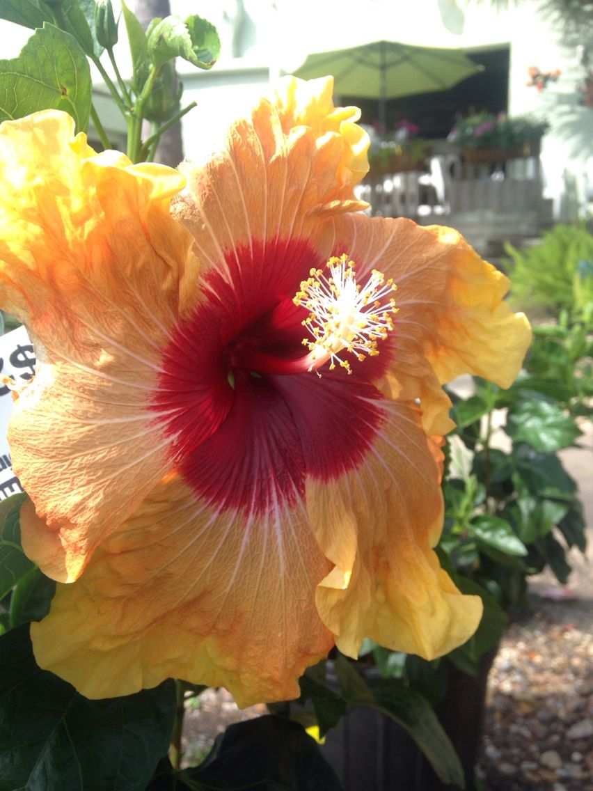 Exotic 5th dimension hibiscus for sale here at toms thumb nursery hibiscus izmirmasajfo