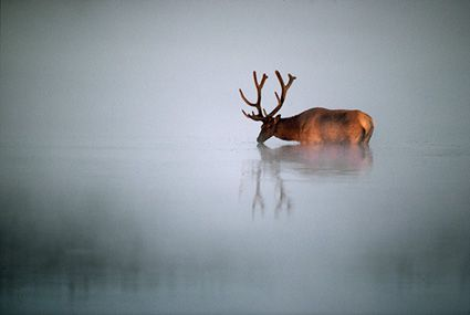 Mangelsen Bull Elk Nature Images Wildlife Photography