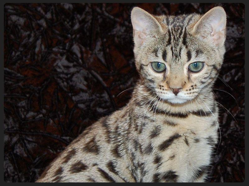 Lunakatz Bengals Colorado Springs Co Bengal Kitten Cat Breeder