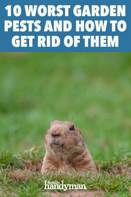 8b1ee6c1af615bfef16c9d4db64868e3 - How To Get Rid Of Groundhogs In Vegetable Garden