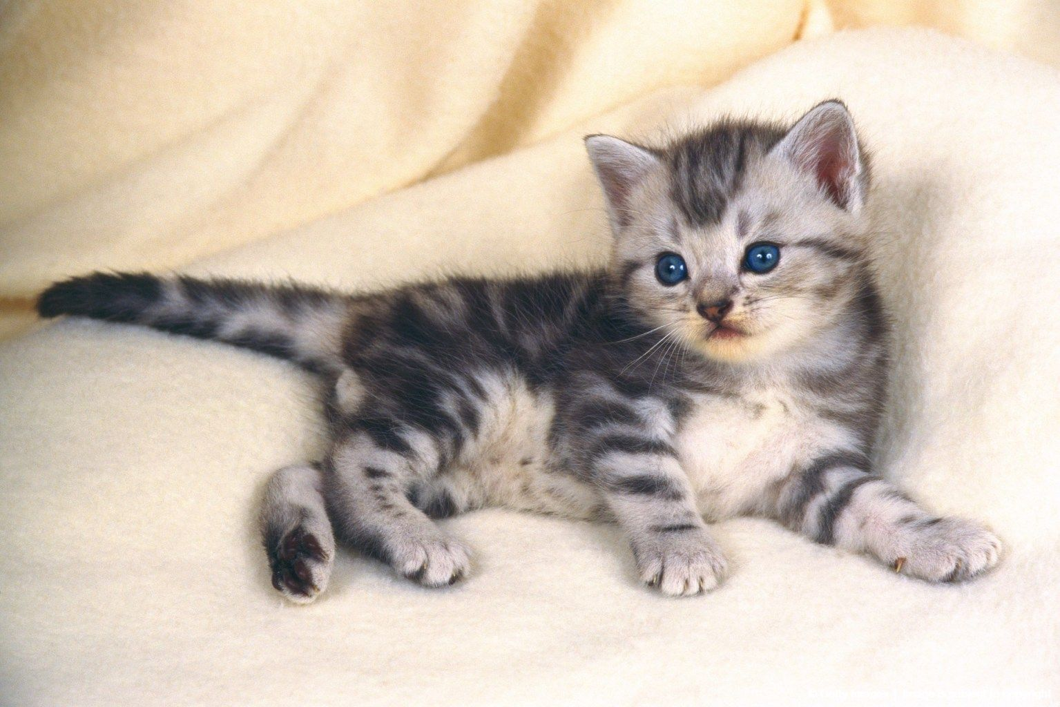 Pin By Theresa Pace On Soft And Warm American Shorthair Kitten American Shorthair Cat American Shorthair