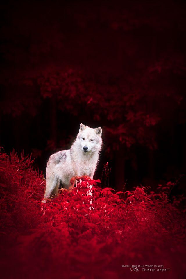 Wolf in Wonderland - DustinAbbott.net