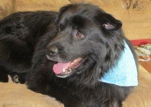 Adopt Aldi Rescue Favorite On Petfinder Lap Dogs Newfoundland Dog Labrador Retriever Mix