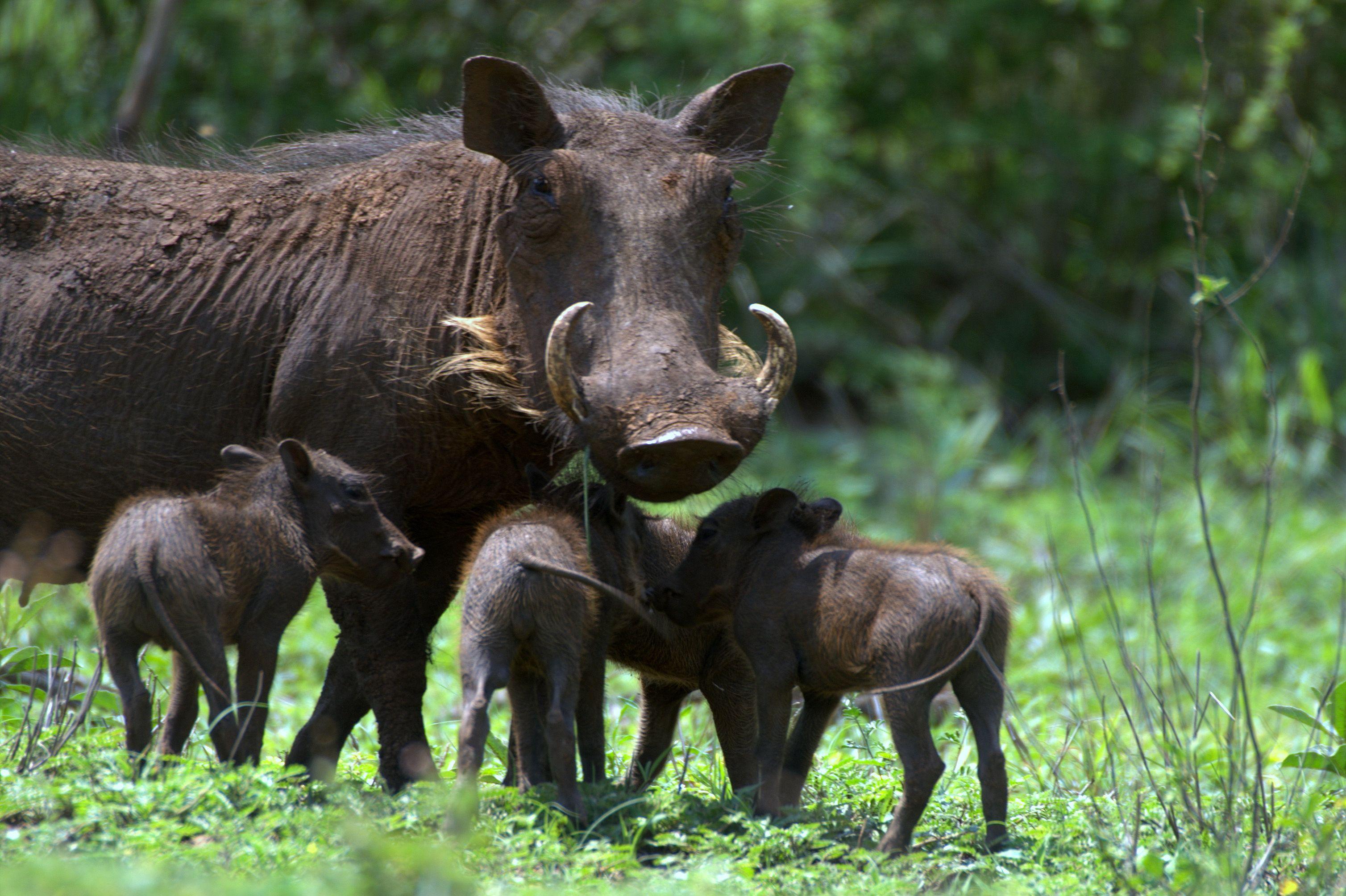 Warthog - Vlakvark  Animals Wild, Warthog, African Animals-3480
