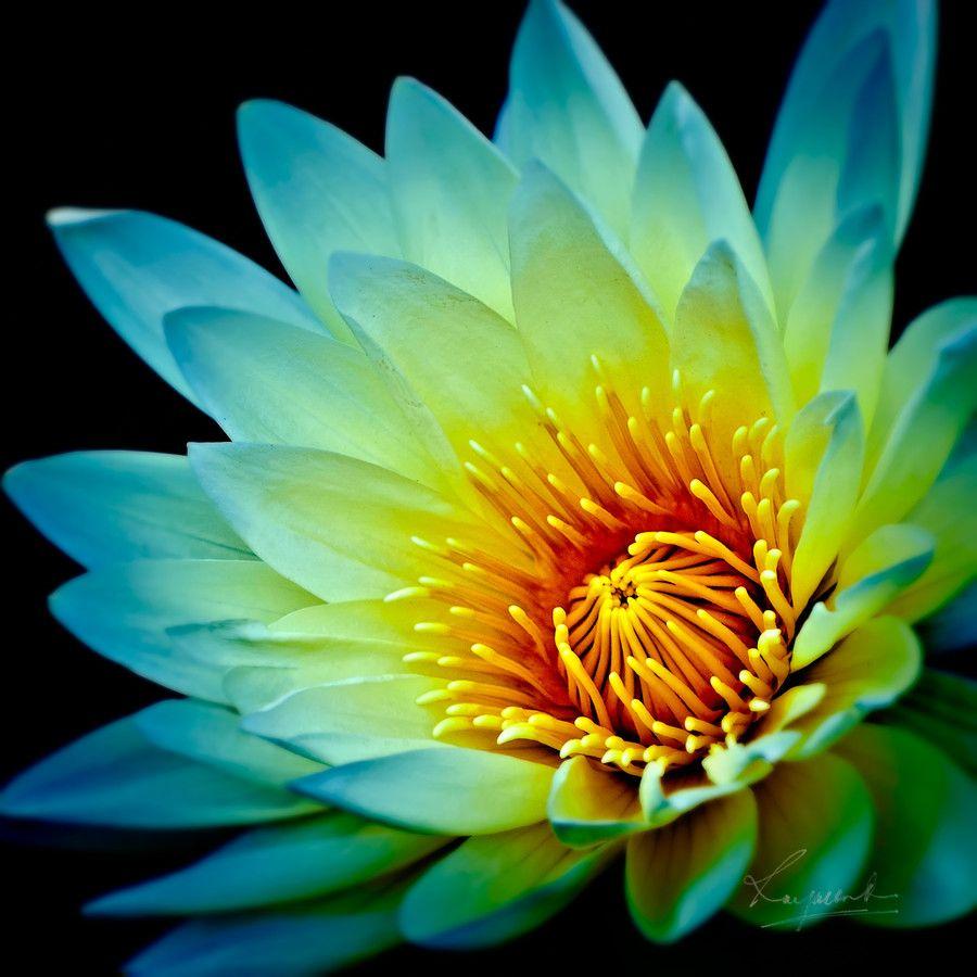 Lotus By Raymond Forbes Lotus Flower Pinterest Lotus