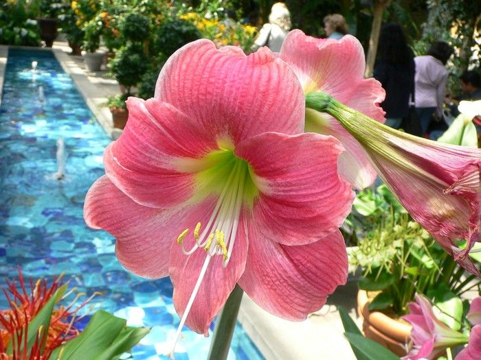 Beautiful Flowers And Quotes Flower Images With Name Amaryllis Flowers Pink Amaryllis