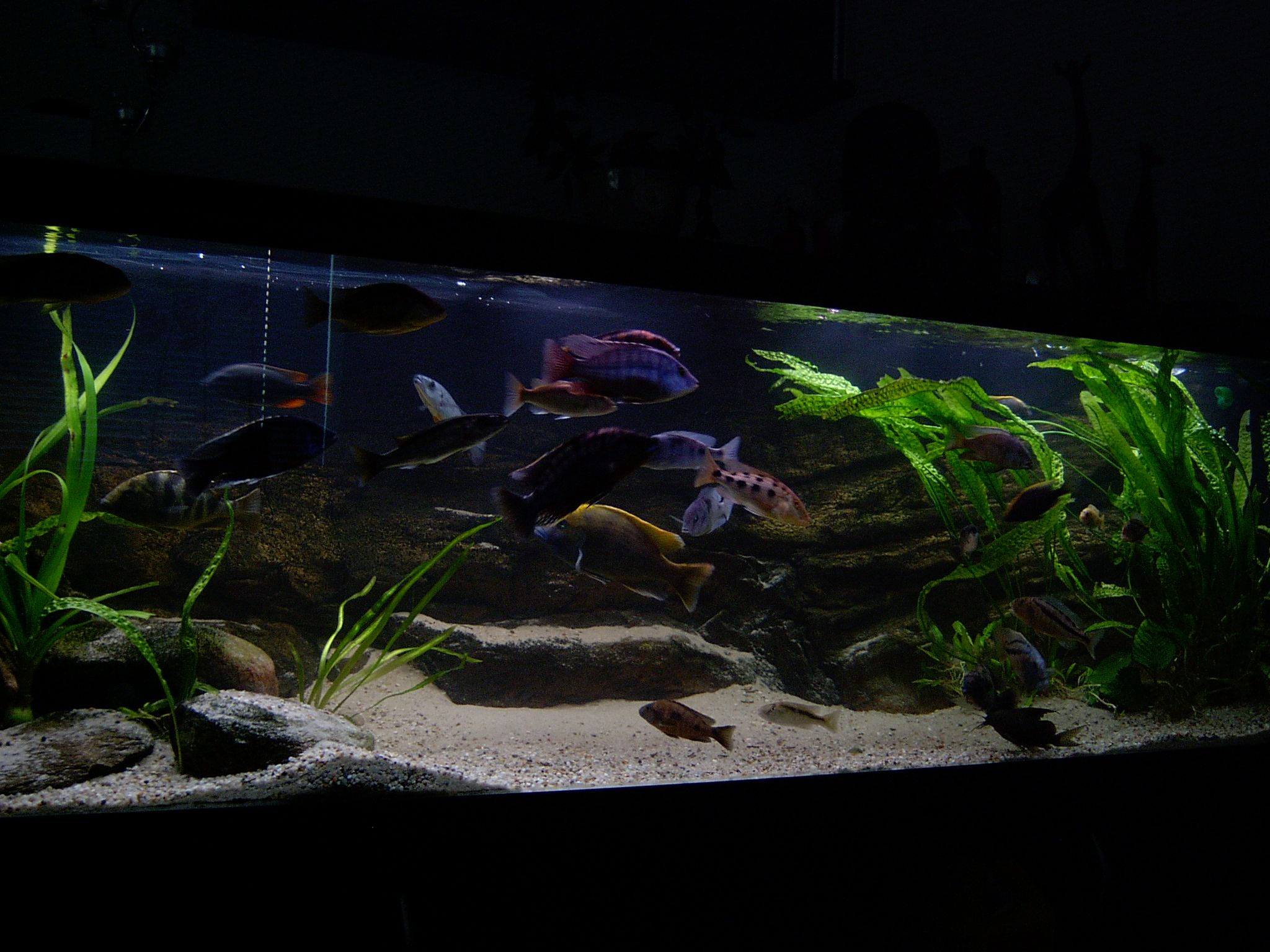 Funny Fish Tank Decorations Home Cichlid Fishtank Funny Fish Tank Cichlids Malawi