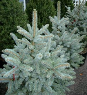Picea Pungens Baby Blue Eyes 1 Year Graft With Images Colorado Blue Spruce Blue Spruce Tree Picea Pungens