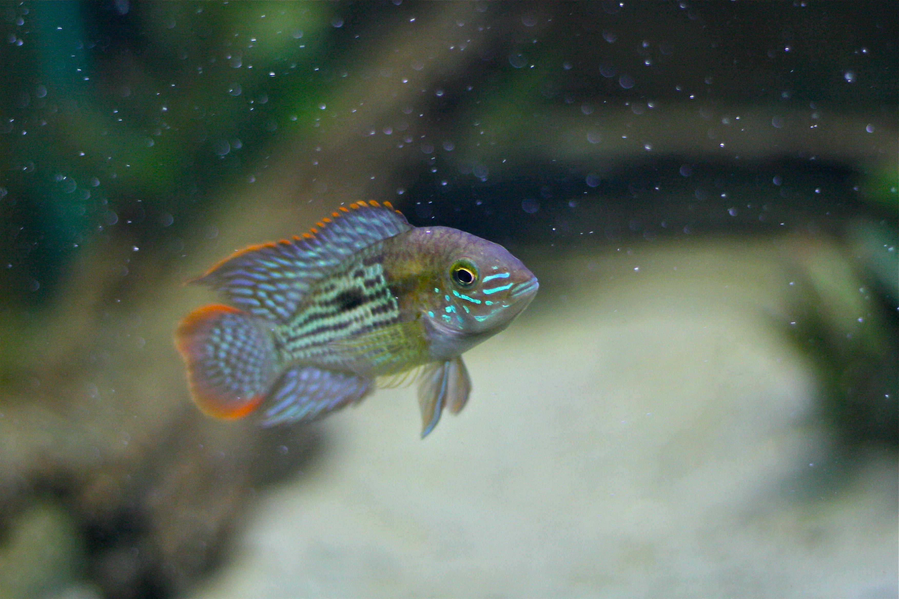Image result for green terror cichlids pinterest tropical fish image result for green terror nvjuhfo Gallery