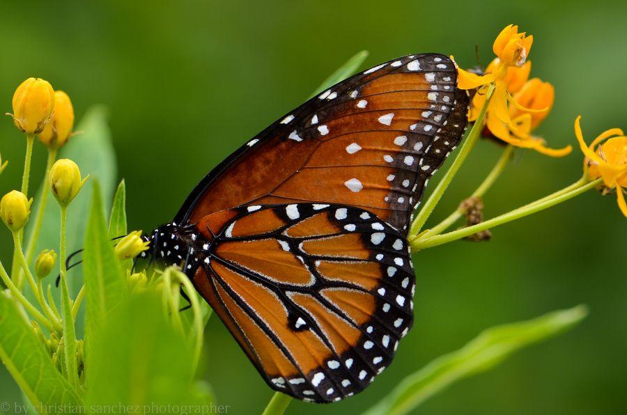 butterfly by Christian Sanchez on 500px