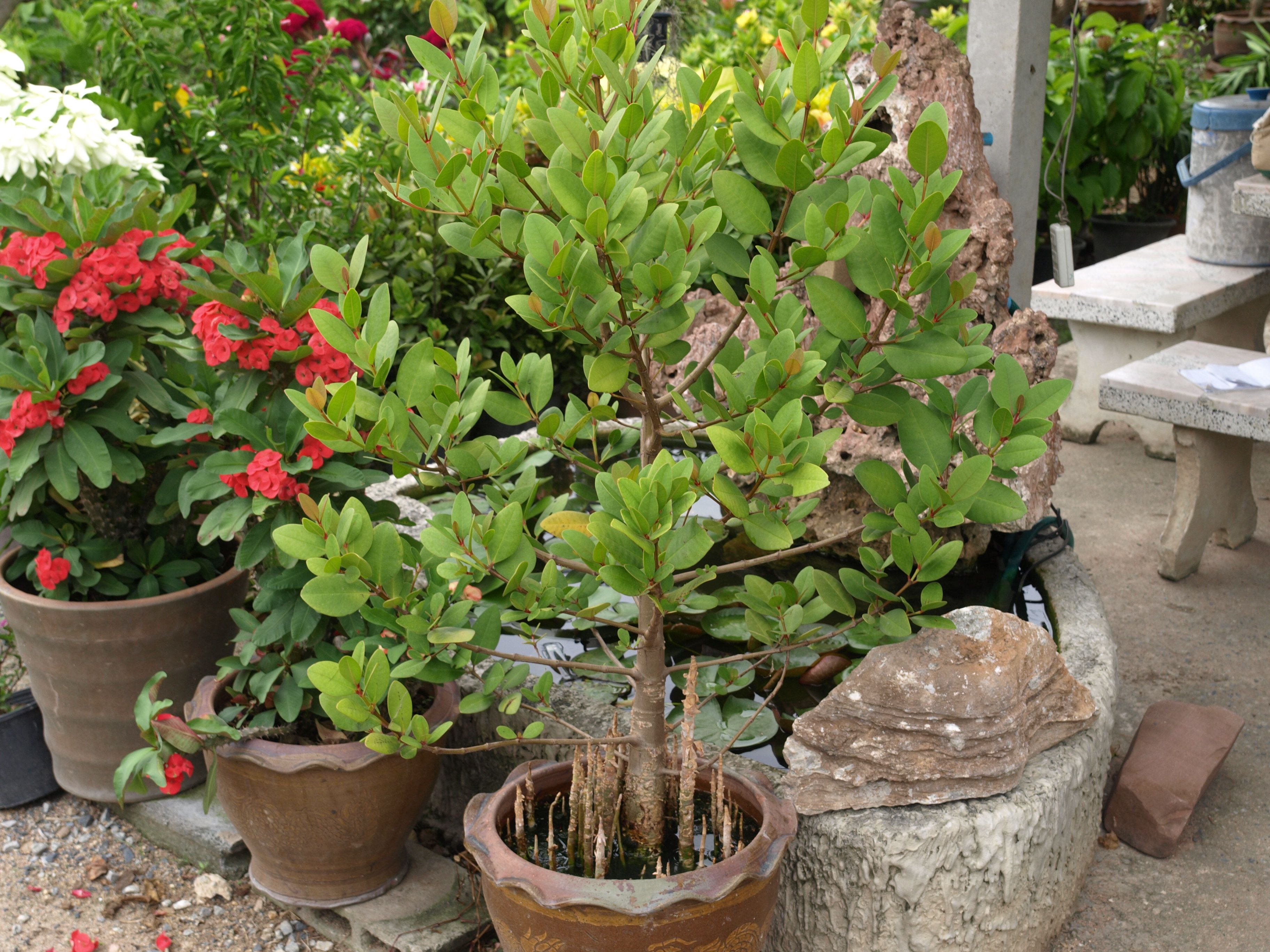 mangrove grown as pot plant | Garden ideas | Pinterest | Plants ...