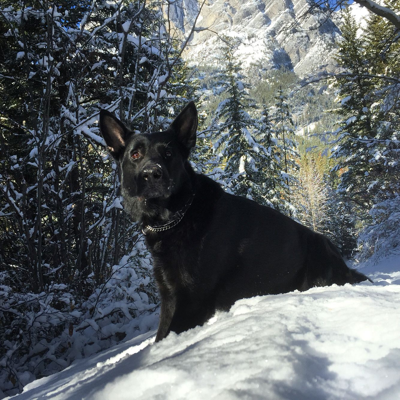 The Black Dog A German Shepherd Ventured Out To Kananaskis On A