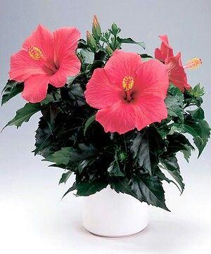Гибискус-китайская роза
