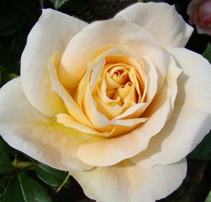 Buy Rosa Champagne Moment Floribunda Rose In The Uk Rose Showy Flowers In This Moment
