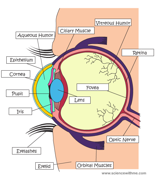 La maravillosa estructura del ojo. | Neurociencia | Pinterest ...