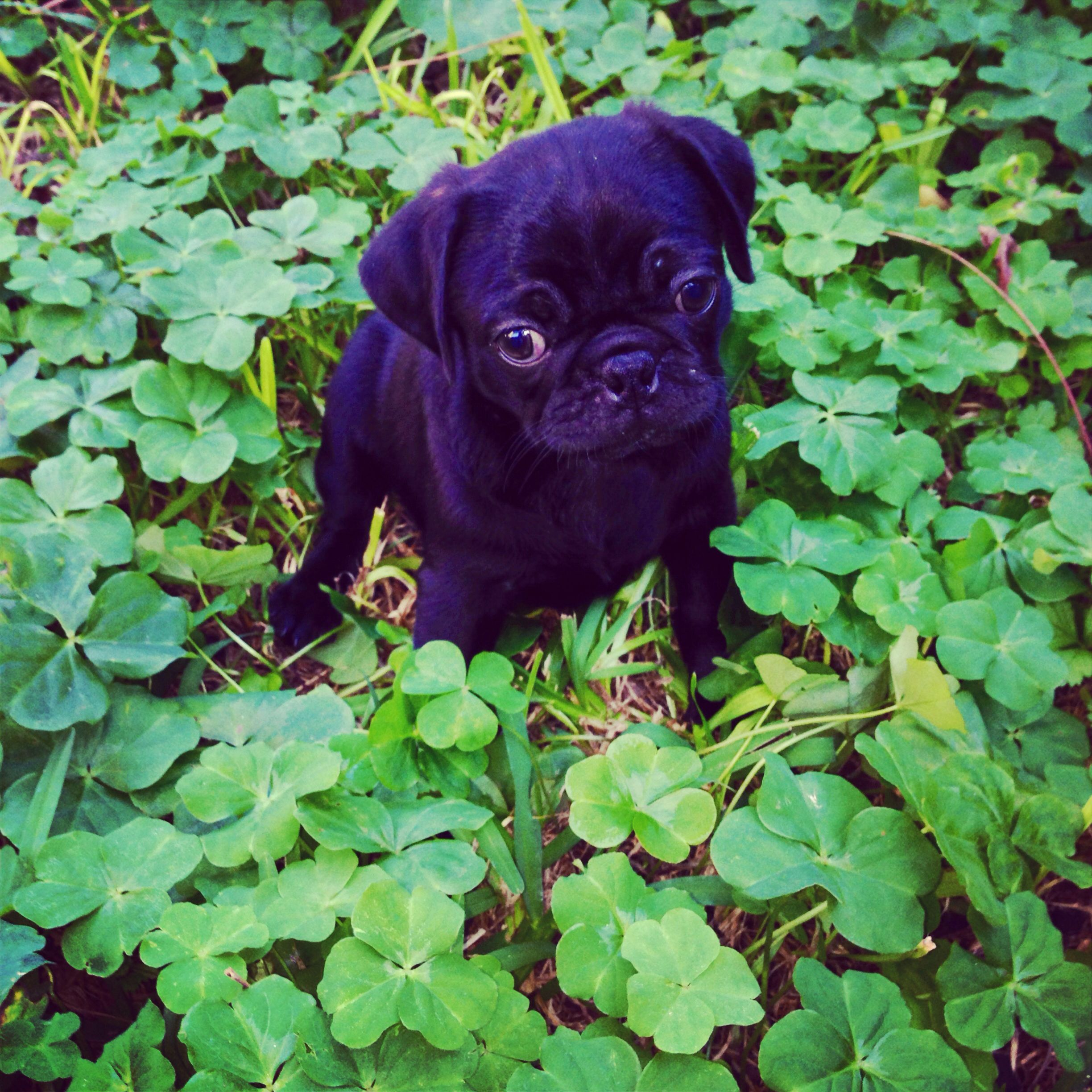 Cute Black Pug Puppy In A Bed Of Clovers Black Pug Puppies