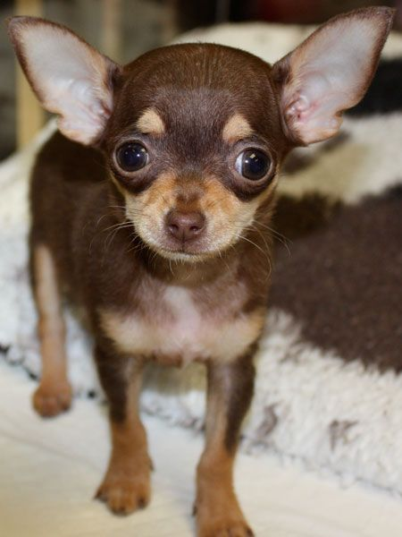 Female Chihuahua Puppy Chocolate And Tan Chihuahua With Images