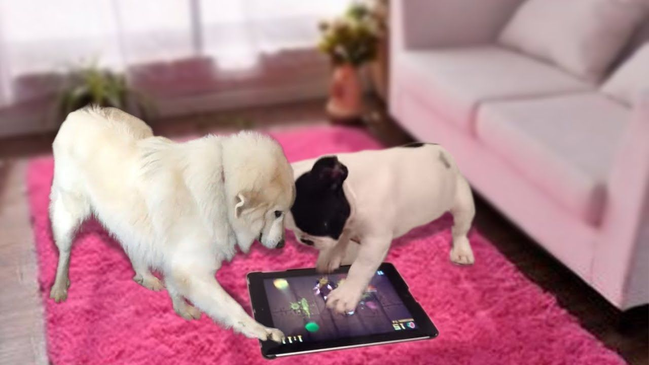 Funny Dog Playing Game For Dog On Ipad Cute Dog Videos Https
