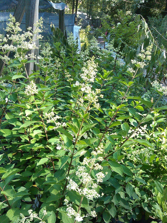 Garden trees names  The Best Flowering Trees and Shrubs  Gardening  Pinterest