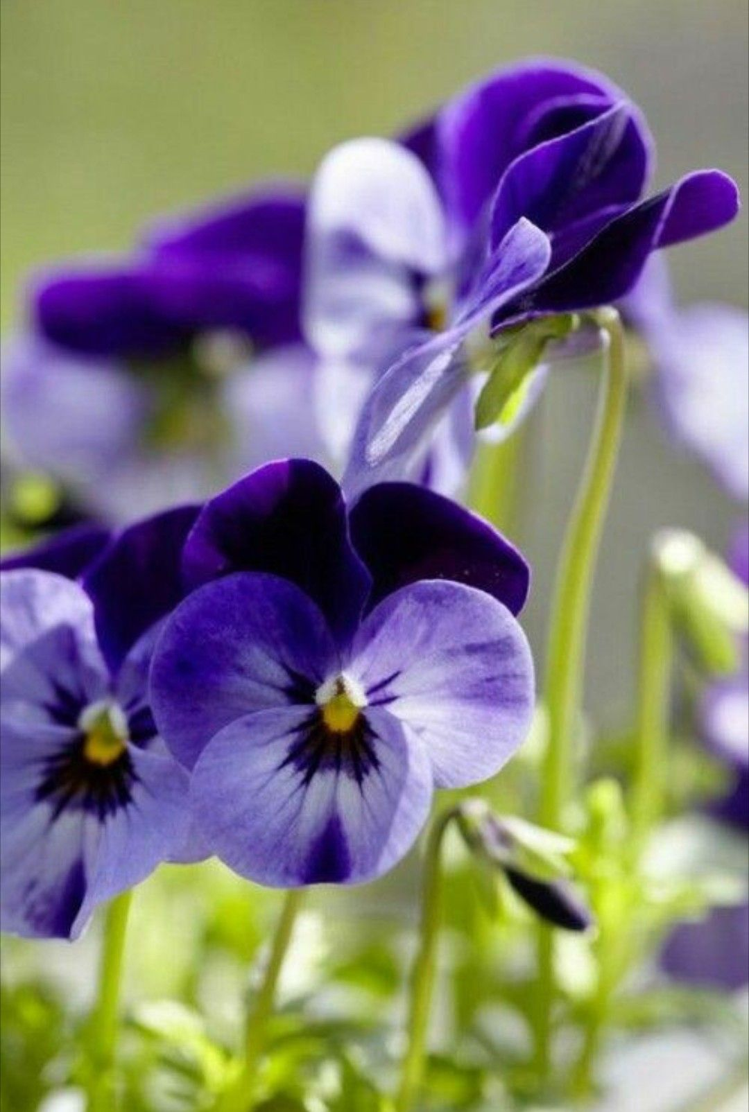 Pin By Prudence Ruth On Hearts Ease Pansies Amazing Flowers Purple Flowers