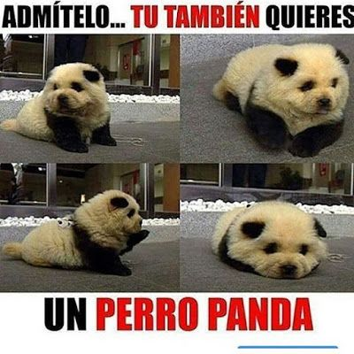 Perro Panda Perro Panda Memes Perros Memes Divertidos