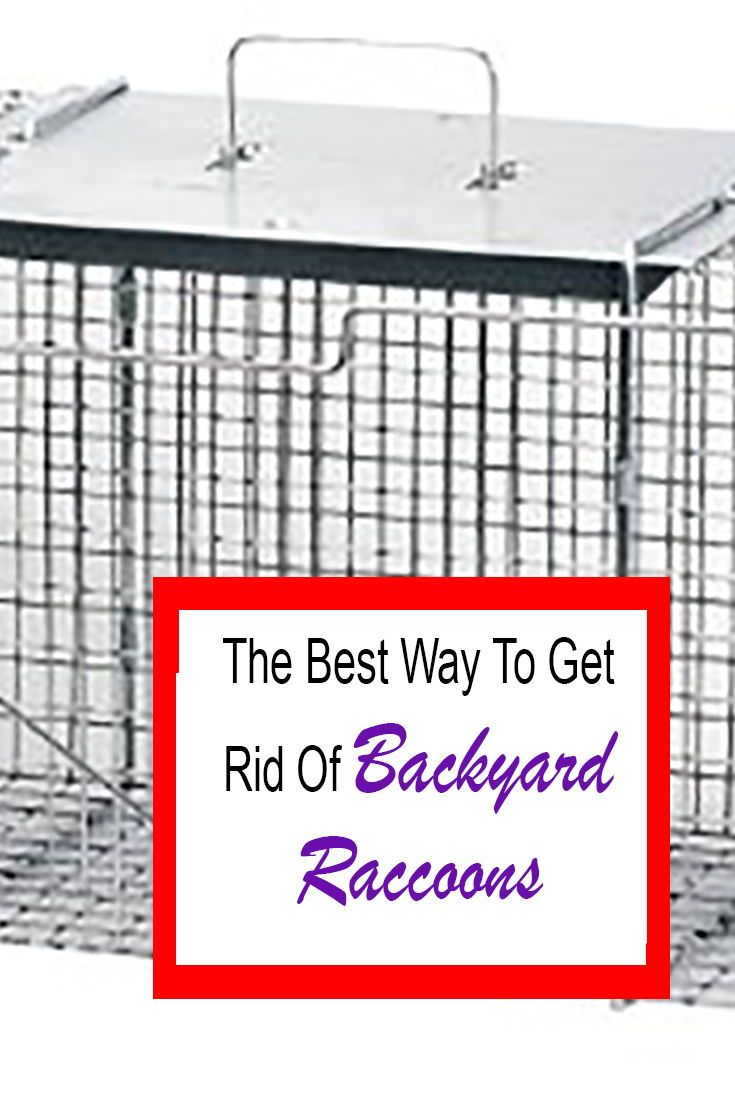 How to get rid of raccoons in your backyard quickly 2021