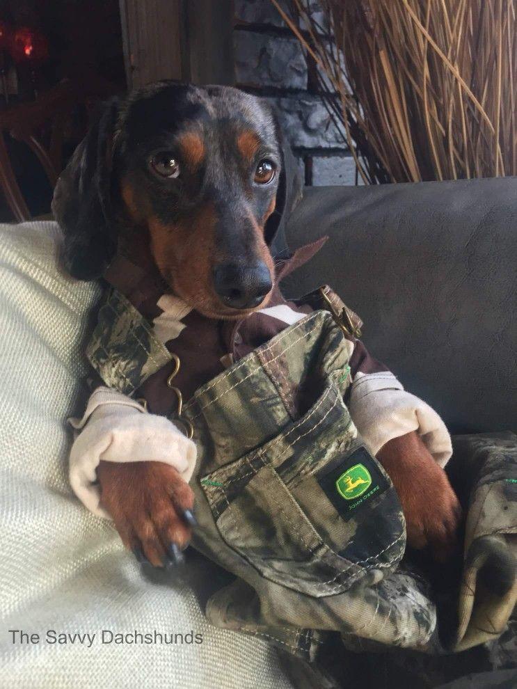 What A Stud Dachshund Dog Dachshund Dogs