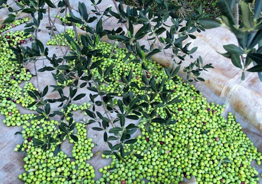 Olives on Hvar ...the heart of every islander #villashvar #yourprivatehvar