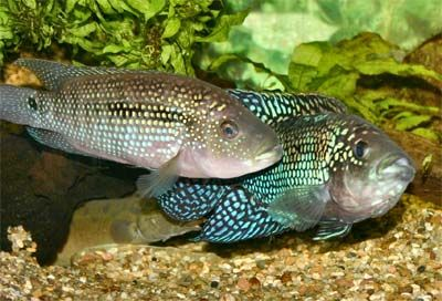 Aquarium fishes names and pictures jack dempsey female for Girl fish names