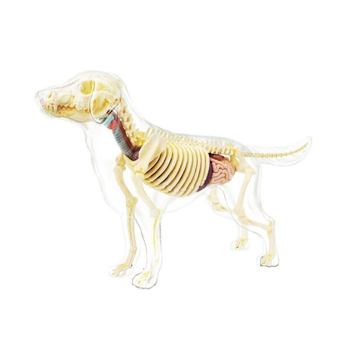 Dog Skeleton Anatomy Model Veterinarian Full Body 4D Assembly Parts ...