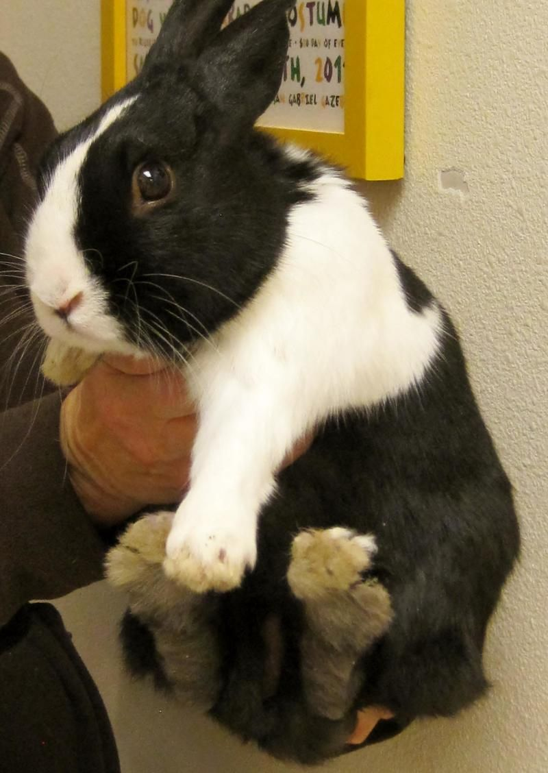 Adopt Oreo On With Images Rabbit Species Bunny Mom Pound Puppies