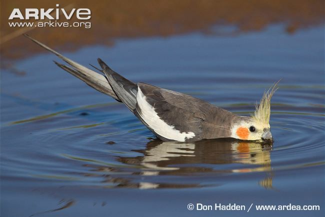 Wild Cockatiel Wading And Sipping Passaros Fofos Animais