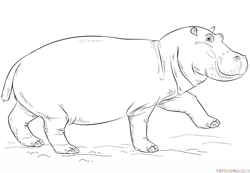 Hippo Coloring Pages Step By Step Tips