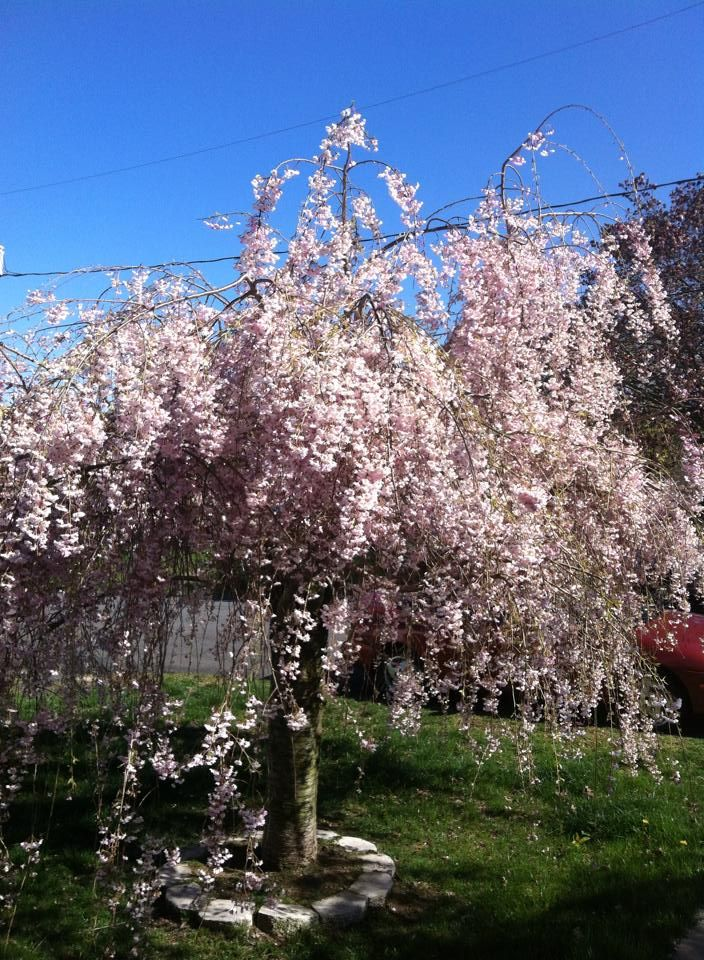 Double Flowering Almond Tree Outdoor Trees Garden Trees Shrubs