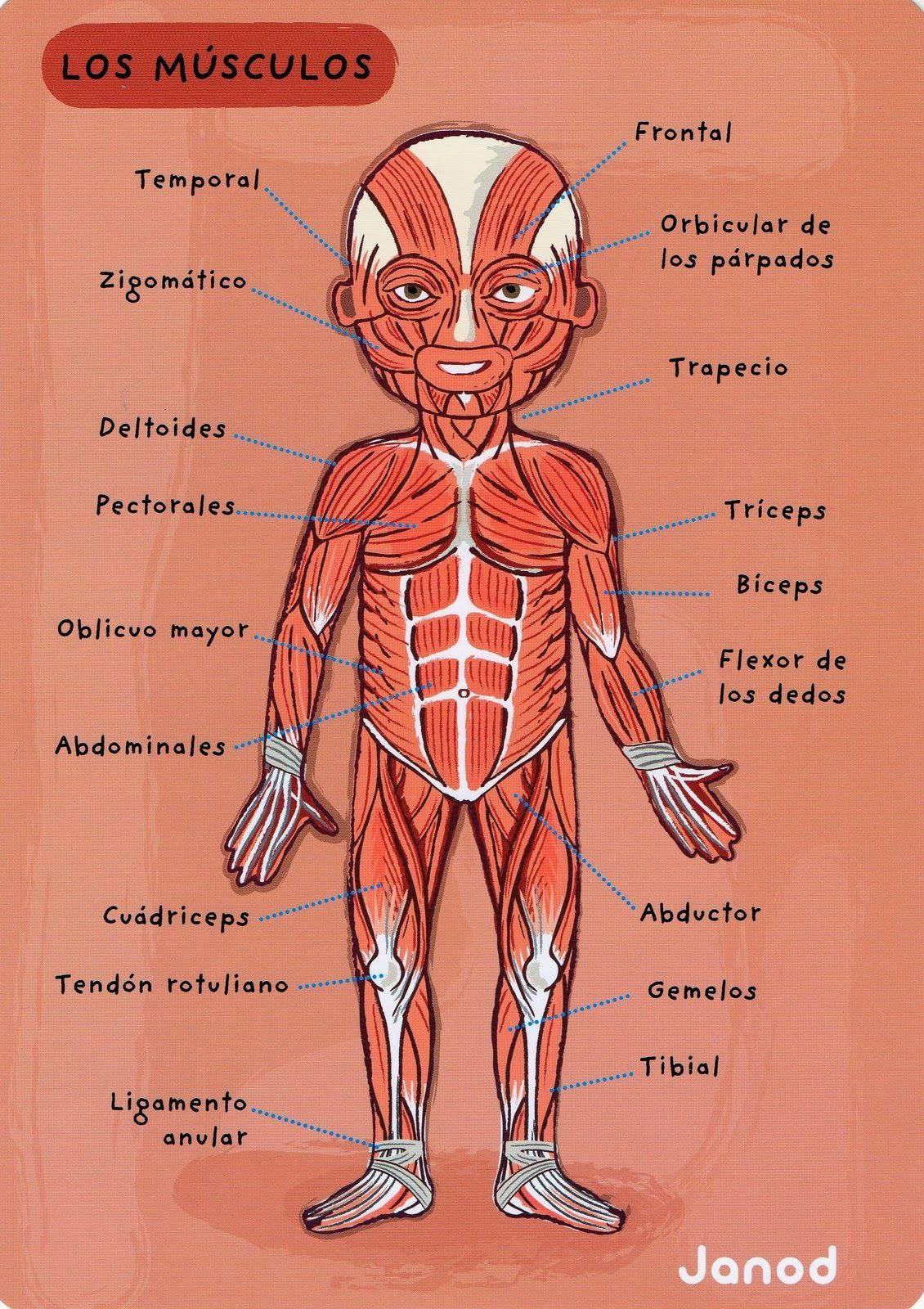 cuerpo-humano-musculos.jpg 1,130×1,600 píxeles   Dibujo   Pinterest ...