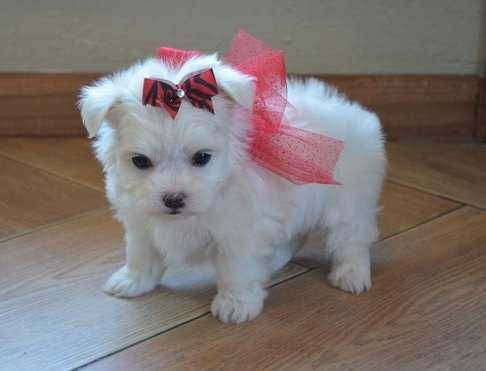 Noble Teacup Maltese Puppies Available For Sale These Adorable Puppies Are Now Ready To Find There Forever Home Teacup Puppies Maltese Pet Puppy Teacup Puppies