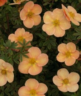 Potentilla Bewerley surprise mound forming shrub with small