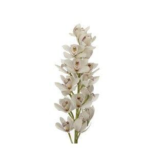 Orchidée Cymbidium Vert   France Fleurs