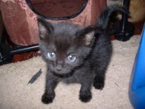 Free Adorable 7 8 Week Old Kittens Males Females 6 Photos Cats And Kittens Kittens Pets
