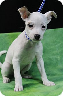 Hagerstown Md Chihuahua Mix Meet Harlowe A Puppy For Adoption