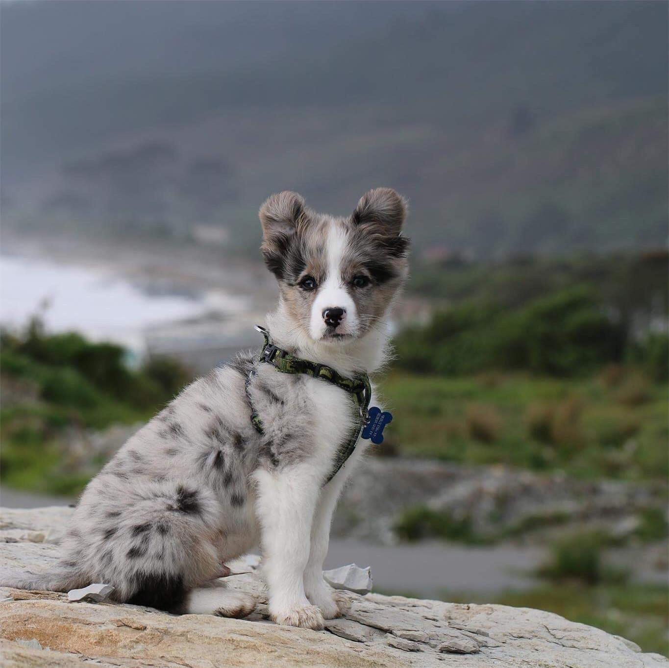 Here It Is Reddit The Best Picture I Ve Taken Of My Handsome Pup Or Anything Else Australian Shepherd Australian Shepherd Dogs Australian Shepherd Puppies