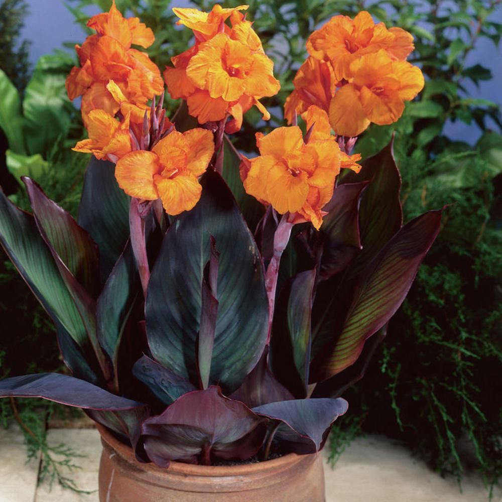 Why Won T My Cannas Bloom What To Do When Your Canna Will Not