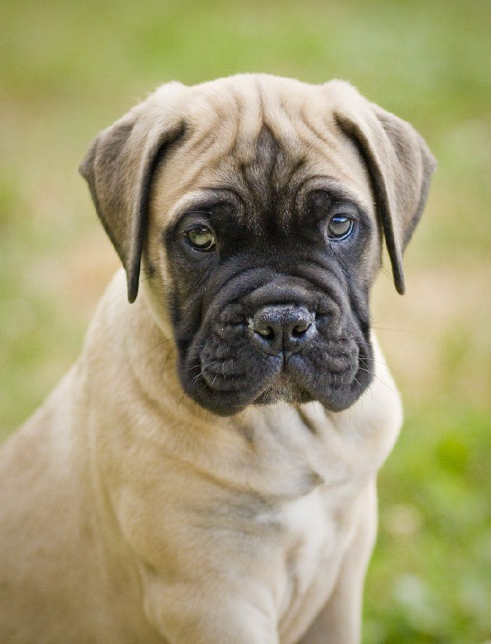 Bullmastiff I Had One When I Was Little And It Is Literally The