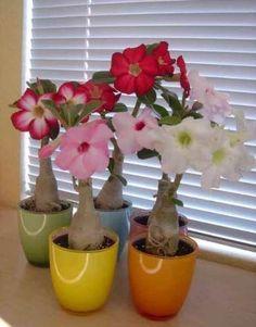 Como Cultivar Rosas Do Deserto Plantas Rosa Do Deserto Como