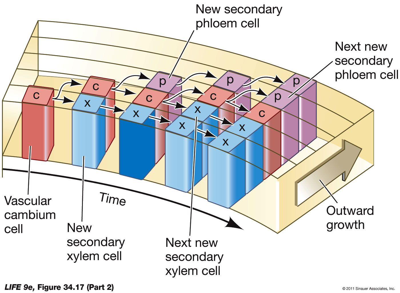 Simple Xylem Cell Diagram Labelled